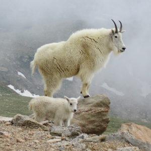 Mountain Goat image