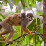 New World Monkeys image