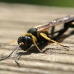 Mud Dauber Wasp image