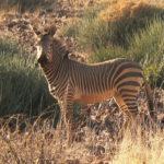 Mountain Zebra image