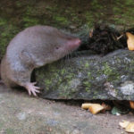 Northern Short-tailed Shrew image