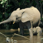 African Forest Elephant image
