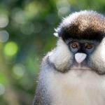 Allen's Swamp Monkeys image