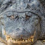 Alligator image