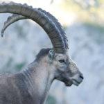 Alpine Ibex image