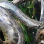 Anaconda Snake image