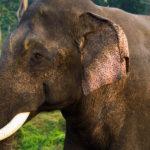 Asian Elephant image