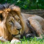 Asian Lion image