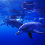 Atlantic Spotted Dolphins image