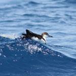 Audubon's Shearwater image