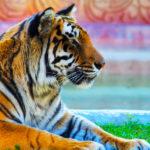 Bengal Tigers image