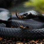 Black Mamba Snakes image