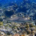 Blacktip Reef Shark image