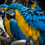 Blue and Yellow Macaw image