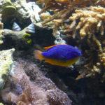 Fiji Blue Devil Damsel Fish image