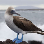 Blue-footed Booby Bird image