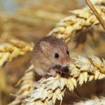 British Mice image