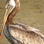 Galapagos Brown Pelican Birds image