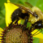 Bumble Bees image