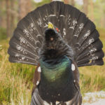 Capercaillie image