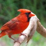 Cardinal Birds image