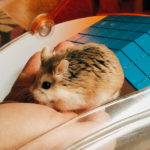 Chinese Hamsters image