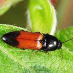 Click Beetle image
