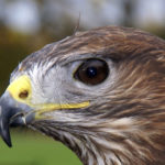 Common Buzzard image