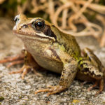 Common Frog image