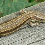 Common Lizard image