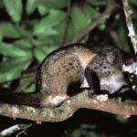 Common Palm Civet image