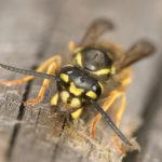 Common Wasps image