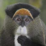 De Brazza's Monkeys image