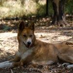 Australian Dingo image