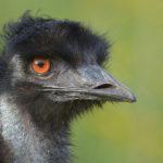 Emu image