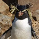 Erect-Crested Penguin image