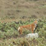 Ethiopian Wolf image