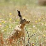 European Hare image