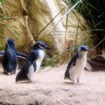 Little Fairy Penguin image
