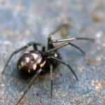 False Black Widow Spider image