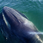Galapagos Fin Whales image