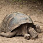 Galapagos Giant Tortoise image