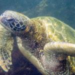Galapagos Green Sea Turtle image