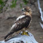 Galapagos Hawk image