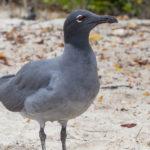 Galapagos Lava Gull Bird image