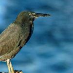 Galapagos Lava Heron Bird image