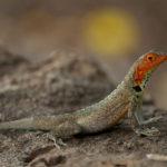 Galapagos Lava Lizard image