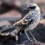 Galapagos Mockingbird image