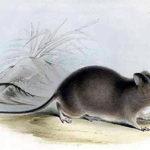 Galapagos Rice Rat image