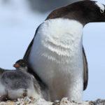 Gentoo Penguin image